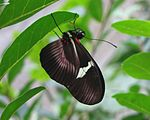 Clysonymus Longwing (Heliconius clysonymus), ventral view.jpg