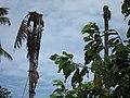 Coconut Tree Cutting - തെങ്ങ് മുറിക്കുന്നു 02.JPG