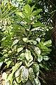 Codiaeum variegatum 53zz.jpg