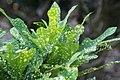 Codiaeum variegatum 6zz.jpg