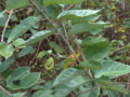 Coin Vine (2923131080).png