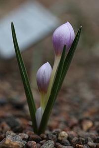 Colchicum triphyllum GotBot 2015 002.JPG