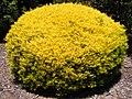 Coleonema Pulchrum Aurea.jpg