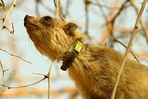 Mark and recapture - Collar tagged Rock Hyrax