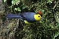 Collared Redstart (41119981581).jpg