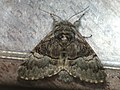 Colocasia coryli - Nut-tree tussock - Совка-шелкопряд (26227791797).jpg