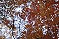 Coloured maples leaves -2 (8225768956).jpg