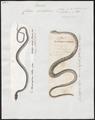 Coluber viridiflavus - 1700-1880 - Print - Iconographia Zoologica - Special Collections University of Amsterdam - UBA01 IZ12100175.tif