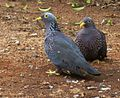 Columba arquatrix, by kleilek, o, Pretoria.jpg