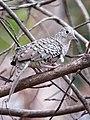 Columbina squammata Tortolita escamada Scaled Dove (8534551213).jpg
