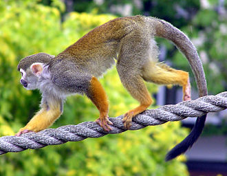Cebidae - Common squirrel monkey (Saimiri sciureus)