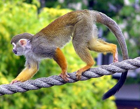 Cebid of the squirrel monkey persuasion