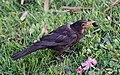 Common Blackbird (Turdus merula) feeding.jpg