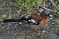 Common Chaffinch (Fringilla coelebs) - Oslo, Norway (04).jpg