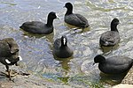 Common Coots.jpg