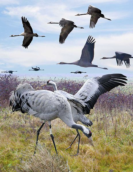 File:Common Crane from the Crossley ID Guide Britain and Ireland.jpg