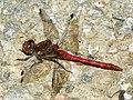 Common Darter (Sympetrum striolatum) (9798963433).jpg