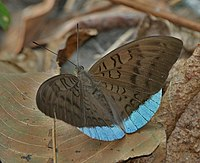 Common Earl (Tanaecia julii) at Jayanti, Duars, West Bengal W IMG 5520.jpg