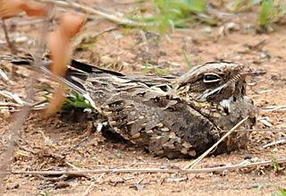 Indian nightjar Species of bird