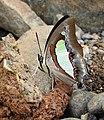 Common Nawab Polyura athamas by Dr. Raju Kasambe DSCN5879 (4).jpg