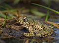 Common Parsley Frog (Pelodytes punctatus), Nord-Pas-de-Calais, France (13904923046).jpg