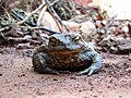 Common Toad.jpg