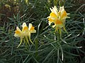 Common Toadflax (Linaria vulgaris) flowers and foliage (3959820419).jpg