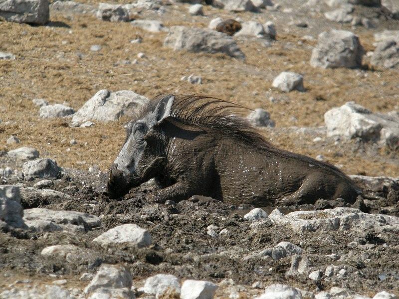 File:Common Warthog, Etosha National Park, Namibia (3926555911).jpg