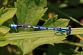 Common blue damselfly (Enallagma cyathigerum) male dorsal.jpg