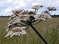 Common hogweed (Heracleum sphondylium) (28757464452).jpg