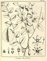 Conami brasiliensis Aublet 1775 pl 354.jpg