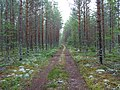 Coniferous forest in Sweden near the Svartälven river 09.jpg