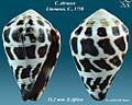 Conus ebraeus 1.jpg