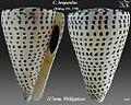 Conus leopardus 1.jpg