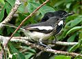 Copsychus saularis -adult and Juvenile -Sri Lanka-8.jpg