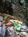 Coptis groenlandica - Coptis trifolia - Coptide du Groenland - Savoyane (5694974245).jpg