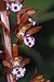 Corallorhiza maculata 0905.JPG