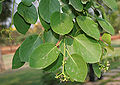 Cordia dichotoma (Lasora) in Hyderabad W IMG 7089.jpg