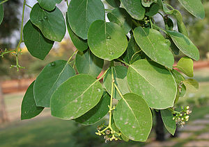 Cordia dichotoma - Cordia dichotoma leaves in Hyderabad, India.