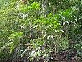 Cordyline petiolaris (tanetahi) 004.jpg
