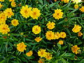 "Coreopsis grandiflora ""Heliot"" 2.JPG"