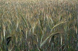 Geography of Hungary - Wheat field, Hungary