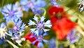 Cornflower (261198735).jpeg