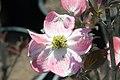 Cornus florida var. rubra Cherokee Brave 8zz.jpg