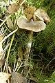 Cortinarius.decipiens.-.lindsey.jpg