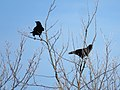Corvus corone (27338161738).jpg