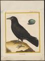 Corvus corone - 1700-1880 - Print - Iconographia Zoologica - Special Collections University of Amsterdam - UBA01 IZ15700217.tif