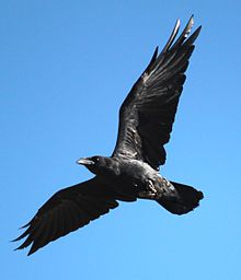 Corvus cryptoleucus flight bottom view 1.jpg