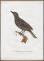 Cotinga cayana - 1801 - Print - Iconographia Zoologica - Special Collections University of Amsterdam - UBA01 IZ16600083.tif