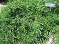 Cotoneaster apiculatus cranberry MN 2007.JPG